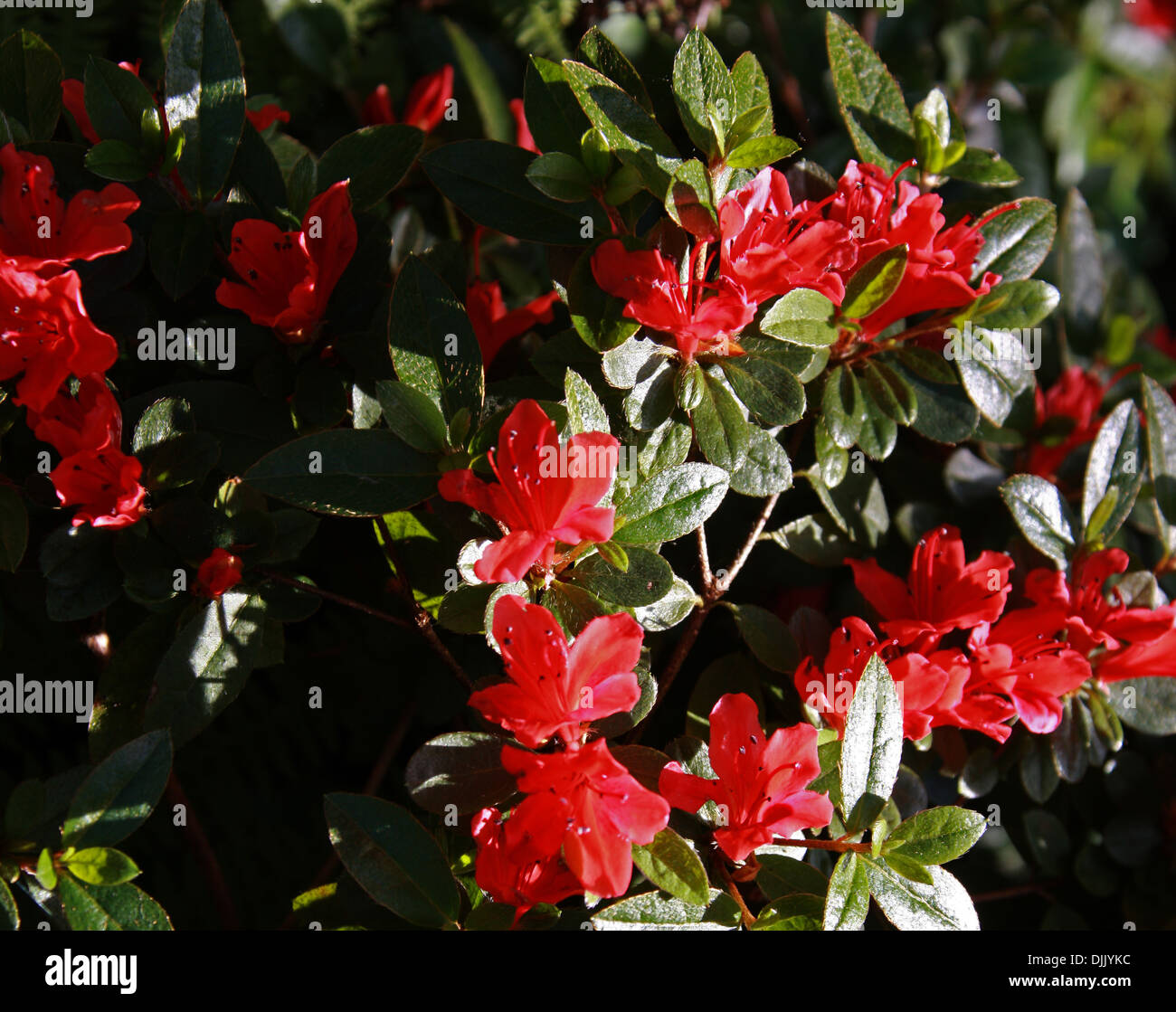 Rhododendron 'Red Fountain', Ericaceae. - Stock Image