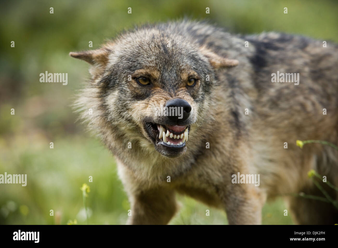 A wolf with an expression of aggression to other components. Wolf park, Antequera, Malaga, Andalusia, Spain - Stock Image