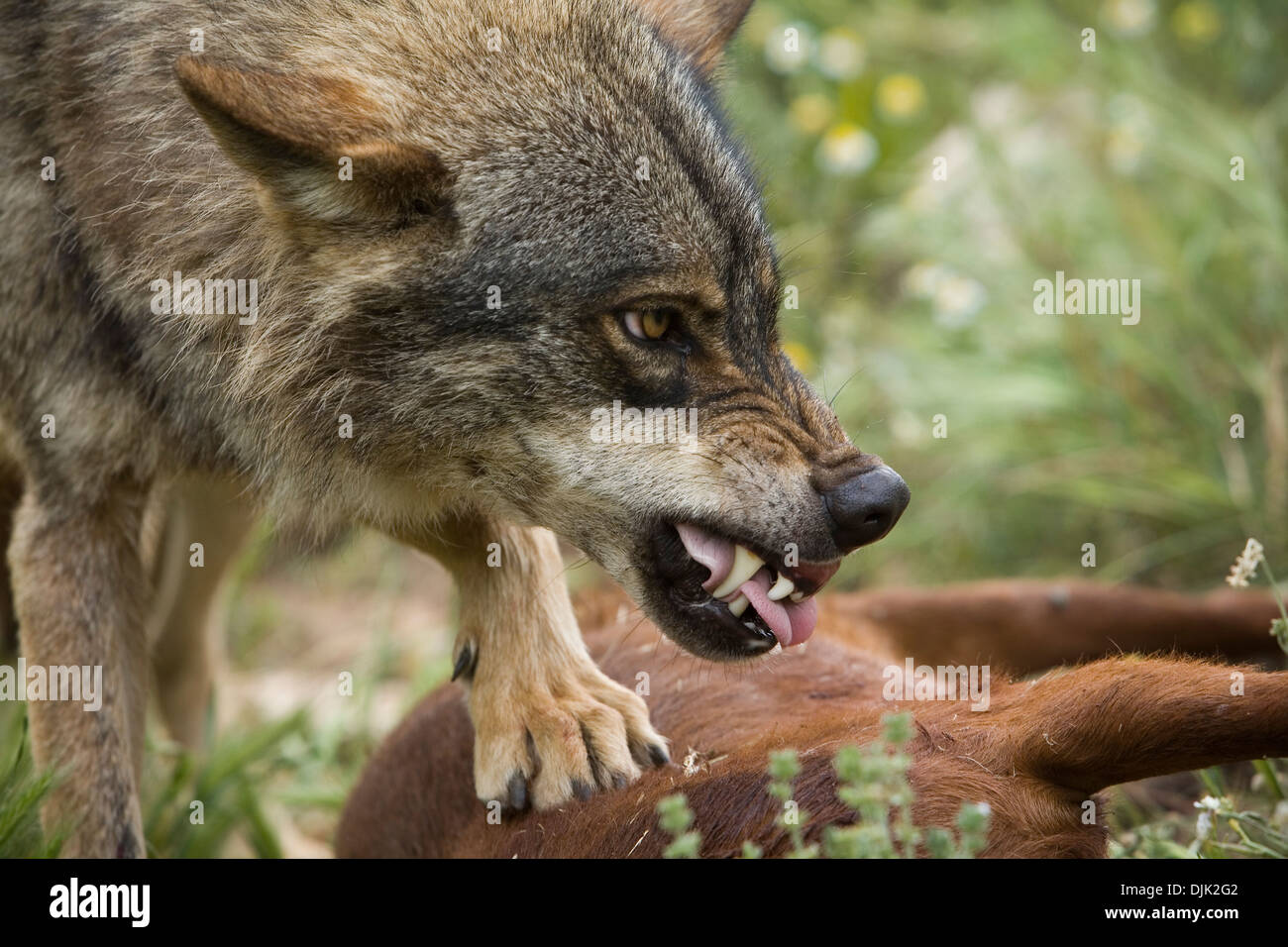 Iberian wolf eating. Wolf park, Antequera, Malaga, Andalusia, Spain - Stock Image