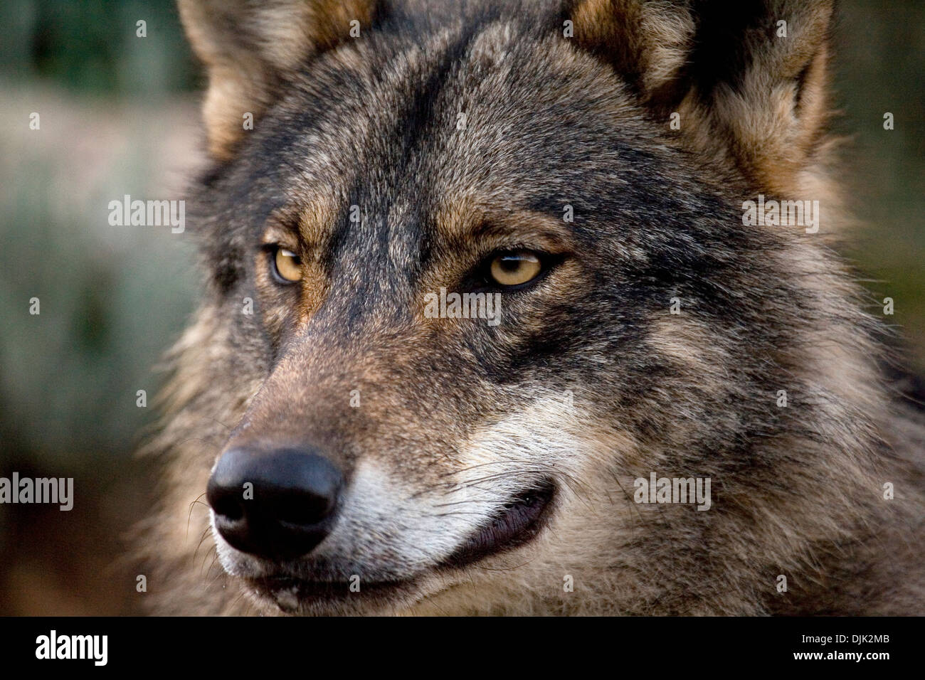 Iberian wolf look. Wolf park, Antequera, Malaga, Andalusia, Spain - Stock Image