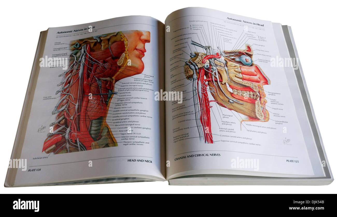 An anatomical diagram medical textbook Stock Photo: 63116043 - Alamy