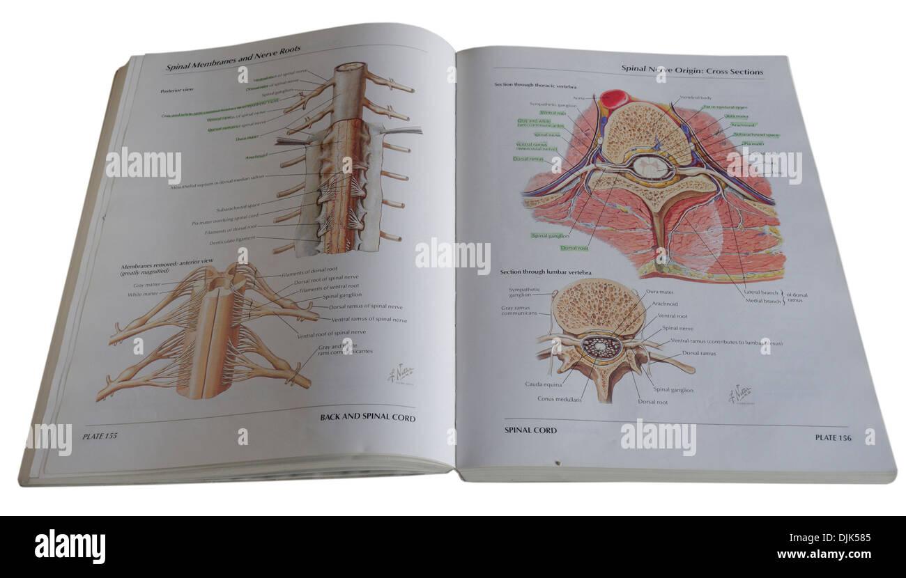 An anatomical diagram medical textbook - Stock Image