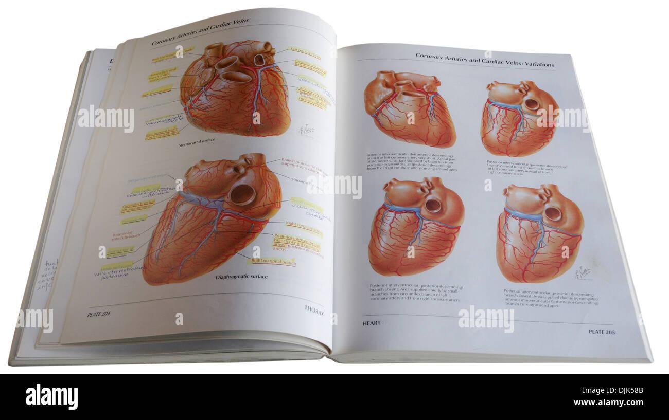 An anatomical diagram medical textbook Stock Photo: 63116155 - Alamy