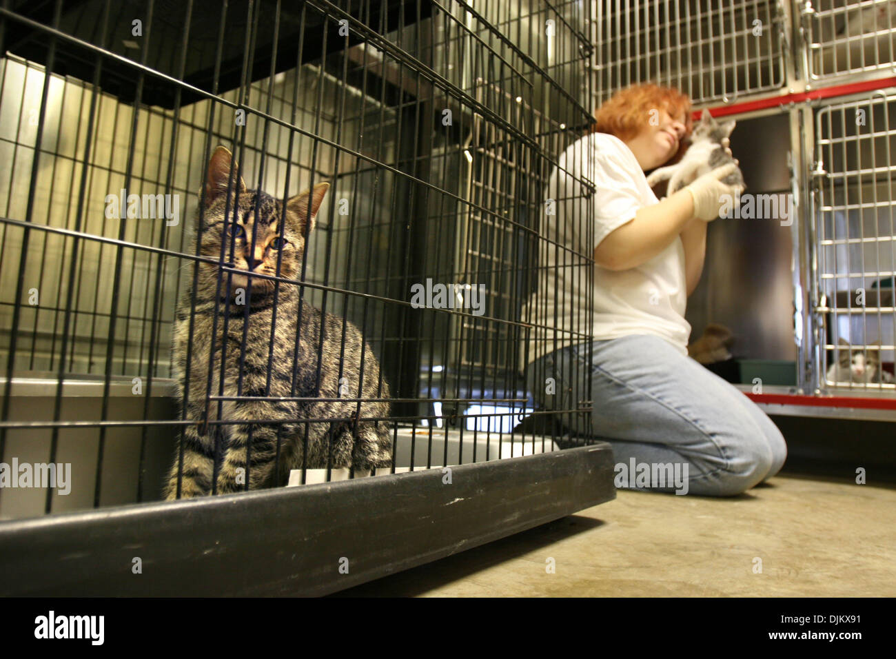 Sept. 14, 2010 - Colliervile, TN, U.S. - September 14, 2010 - A brown tabby cat named Kiwi peers from it's cage at the Collierville Animal Shelter where volunteer Tina Dean worked sprucing up inside the feline area at the shelter Tuesday. The shelter is preparing for Friday's Meow Madness where they are planning to do adoptions from 12 pm til Midnight. The annual event is held each - Stock Image