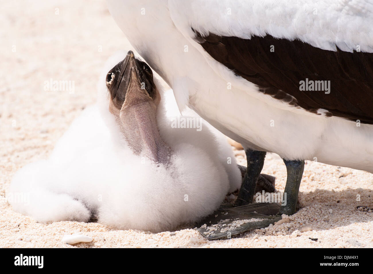 Close up masked booby chick looking up to mother, on a remote beach, Huon Island New Caledonia - Stock Image