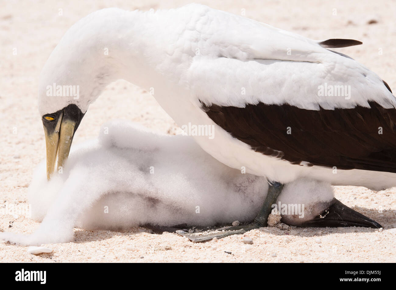 close up female masked booby tending to her chick, hiding between her legs on a remote beach. Huon Island, New Caledonia - Stock Image