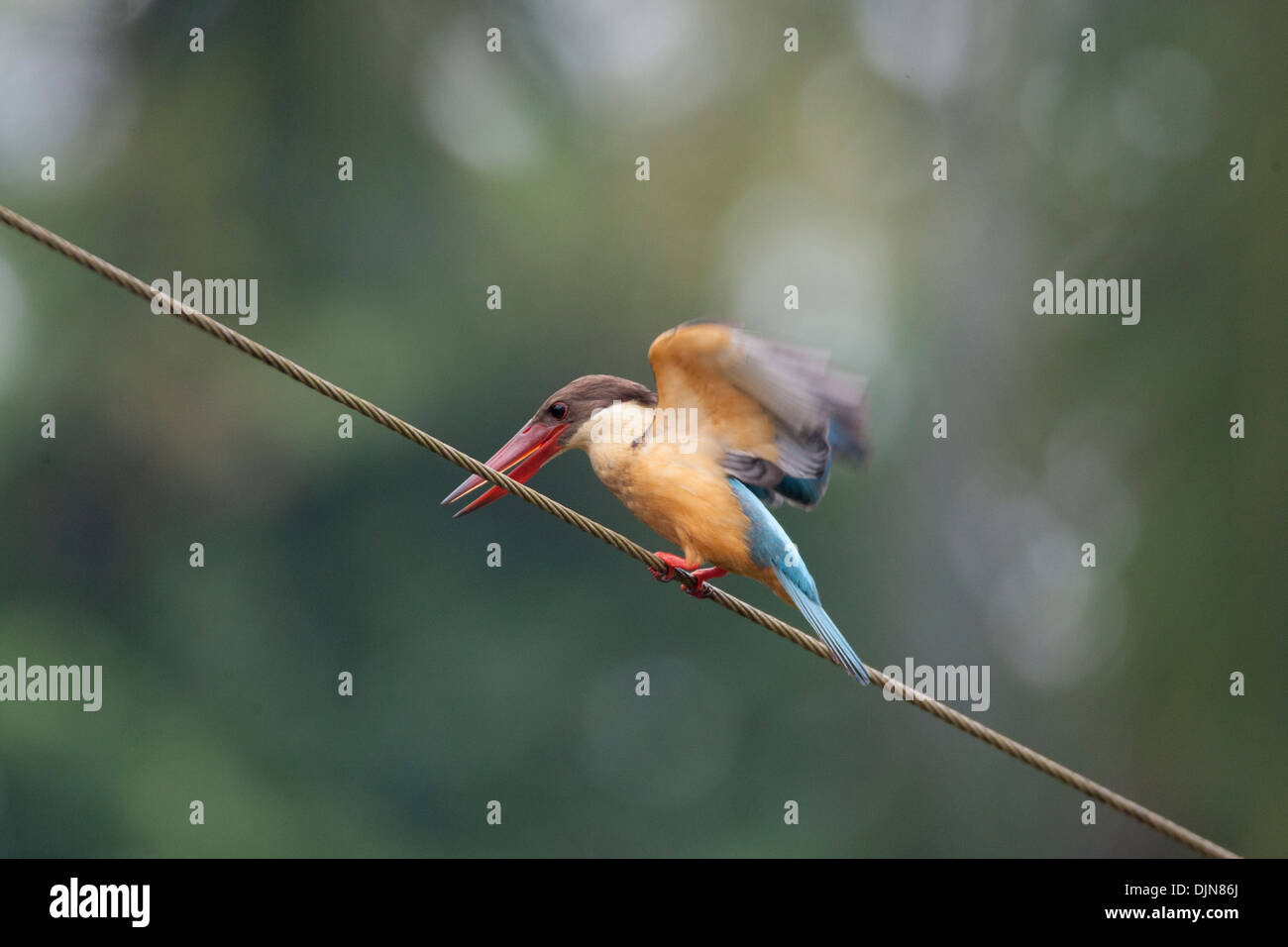 The Stork billed Kingfisher in the monsoons is found inland in the state of Goa, one of the biggest kingfishers bird in India - Stock Image