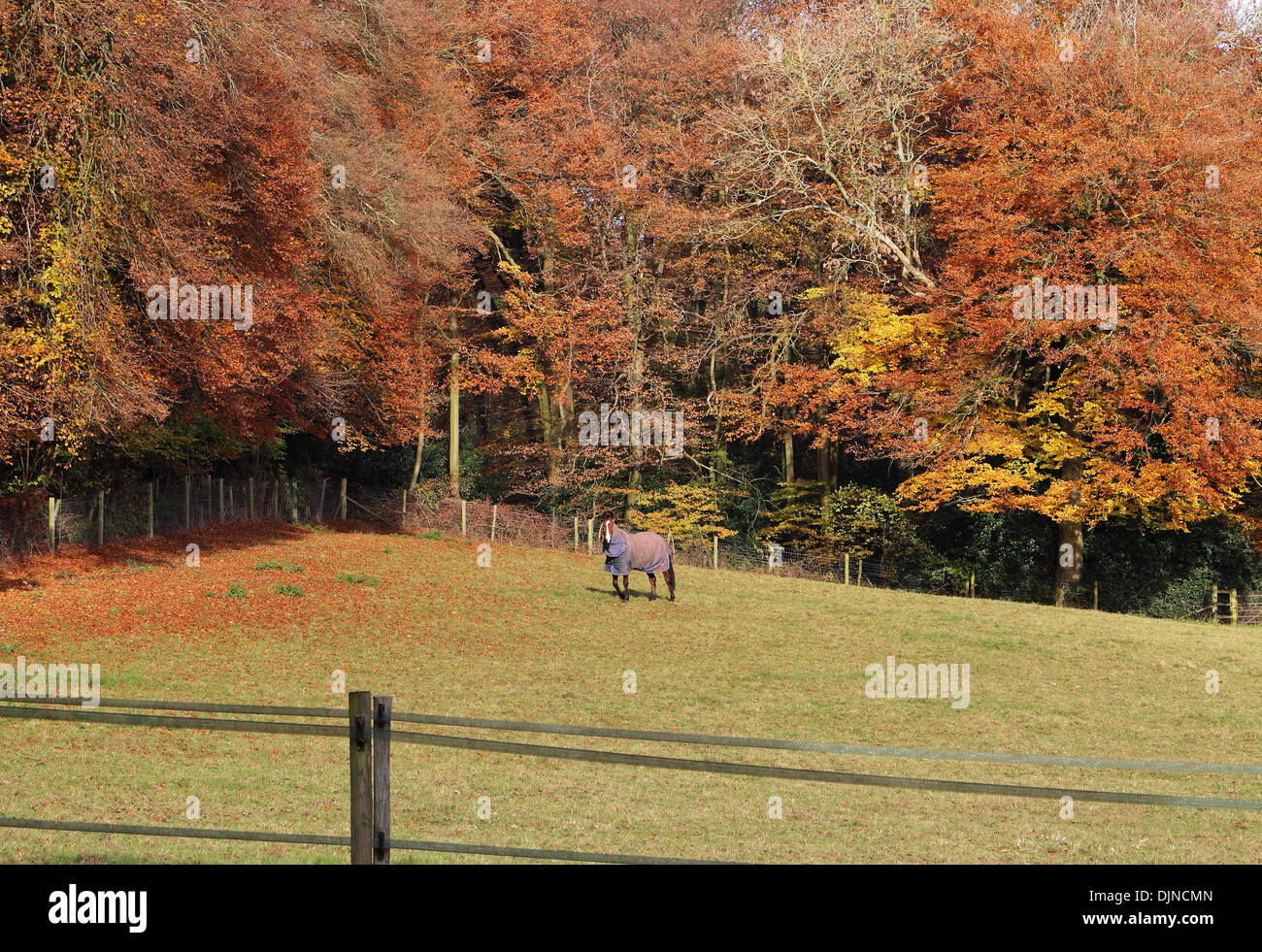 Bay Horse grazing in an english meadow in the Chiltern Hills with trees in Autumn colours - Stock Image