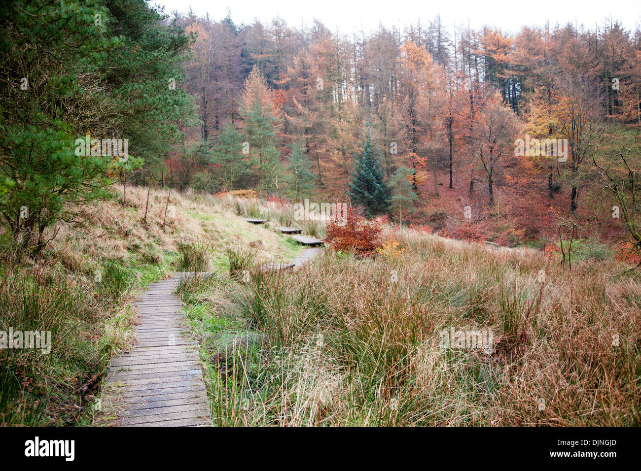 A wooden boardwalk covering a footpath, autumnal trees, brown leaves, conifers, near Bollin Brook Macclesfield Forest Cheshire - Stock Image
