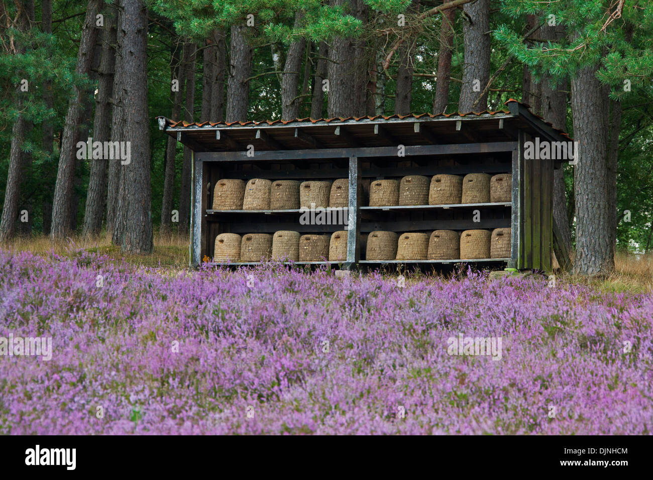 Bee hives / beehives / skeps for honeybees in shelter of apiary in the Lüneburg Heath / Lunenburg Heathland, Saxony, Germany - Stock Image