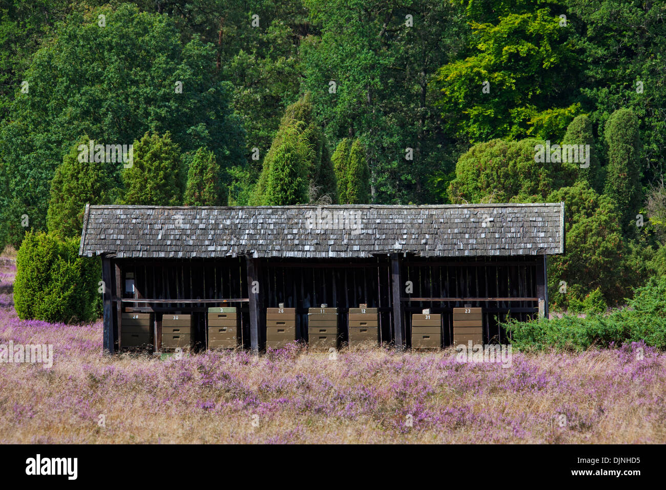 Bee hives / beehives for honey bees of apiary in heathland of the Lüneburg Heath / Lunenburg Heath, Lower Saxony, Germany - Stock Image