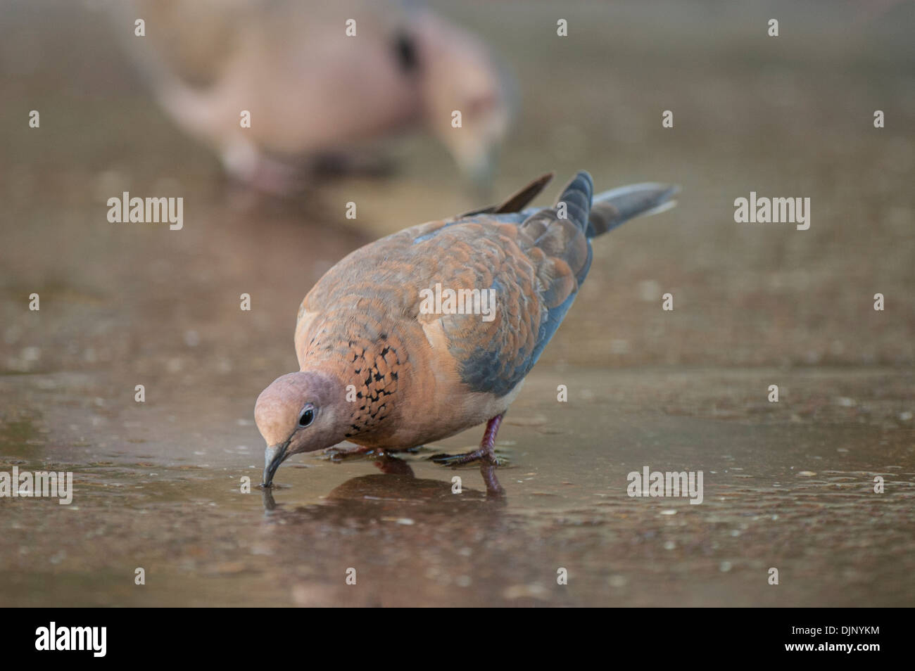 Adult dove drinking on path in landscape view. Stock Photo