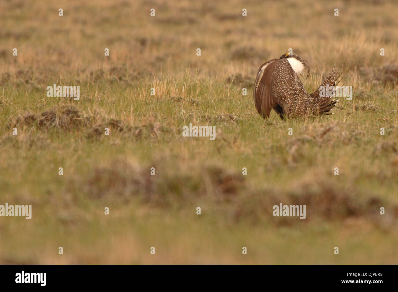 A Sage Grouse preparing to let out a boom on lekking grounds during courtship. - Stock Image