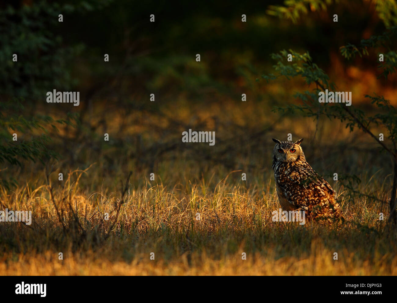 Eurasian Eagle Owl or Indian Great Horned Owl in Rann of Kutch in Gujarat - Stock Image