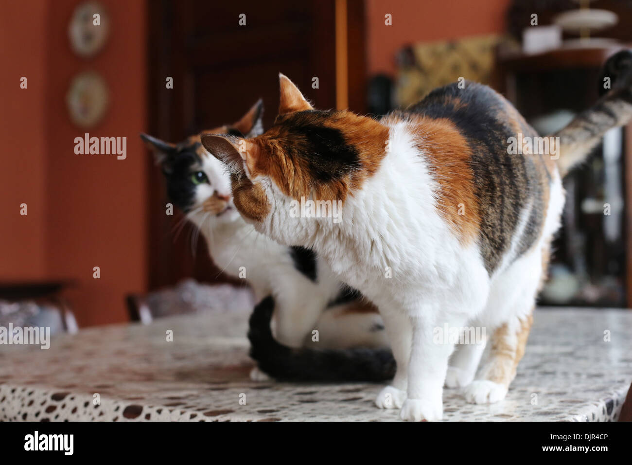 Two calico cats looking at each other. - Stock Image