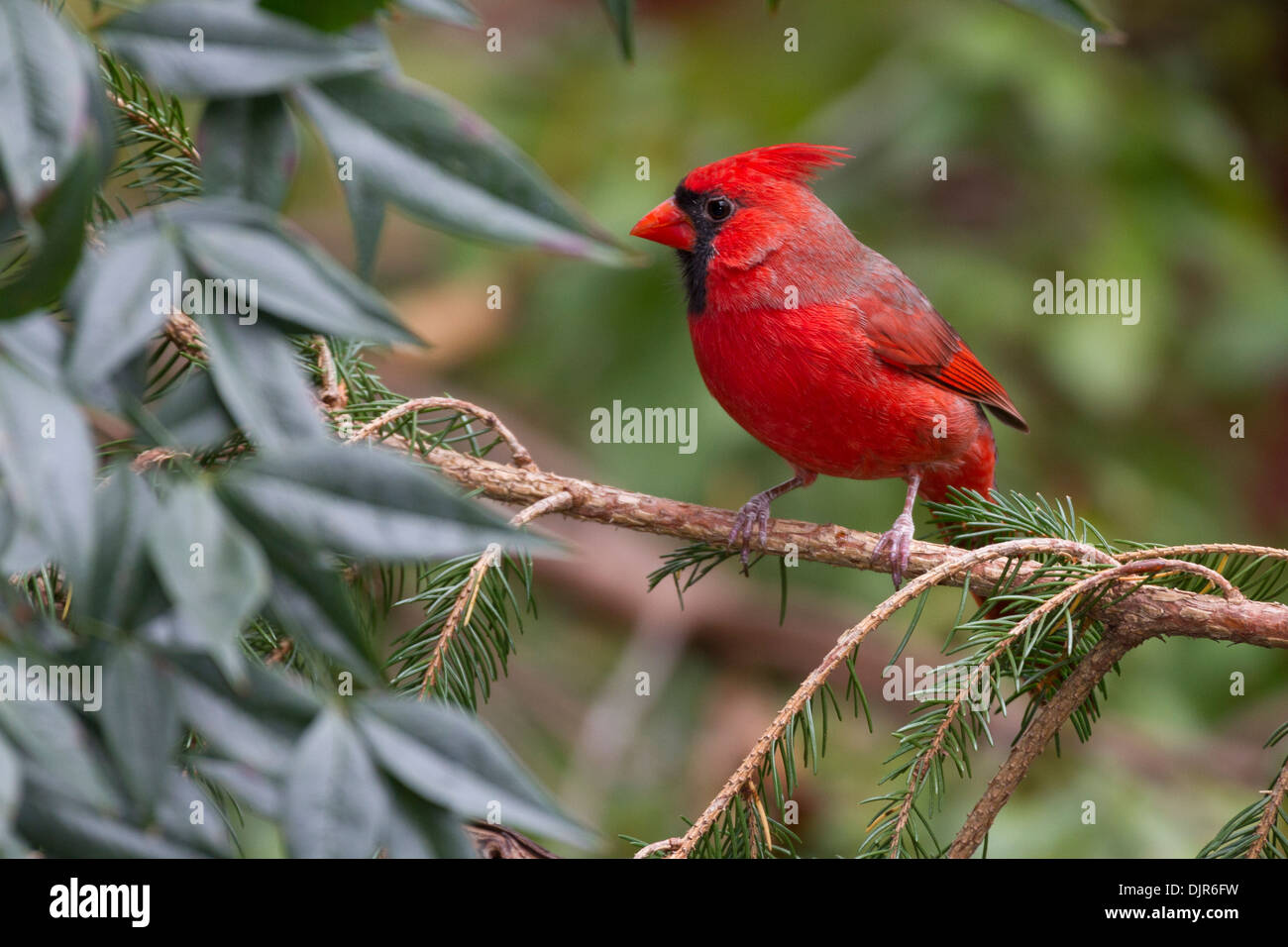 Male Northern Cardinal, Cardinalis cardinalis, in autumn - Stock Image