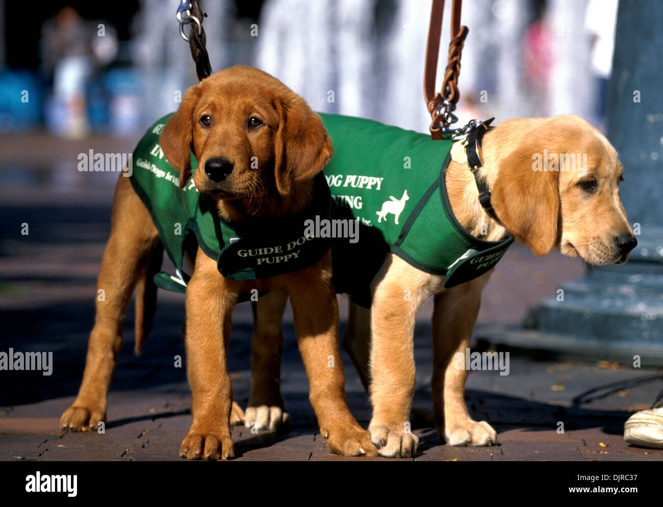 Guide Dog Training Stock Photos & Guide Dog Training Stock Images