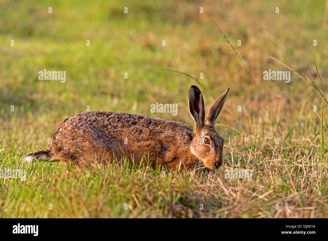 European Hare (Lepus europaeus) - Stock Image