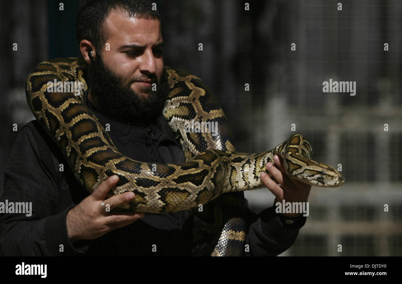 Nov. 30, 2013 - Rafah, Gaza Strip, Palestinian Territory - A Palestinian visitor holds a 30 years-old Snake which belongs to the Python snakes at Rafah Zoo in Rafah, southern Gaza Strip, on Nov. 30, 2013. The Reticulated Python snake is large and very interesting to gaze at. They don't have any venom and they are very seldom known to bite. However, they will wrap around a person though and suffocate them  (Credit Image: © Eyad Al Baba/APA Images/ZUMAPRESS.com) - Stock Image