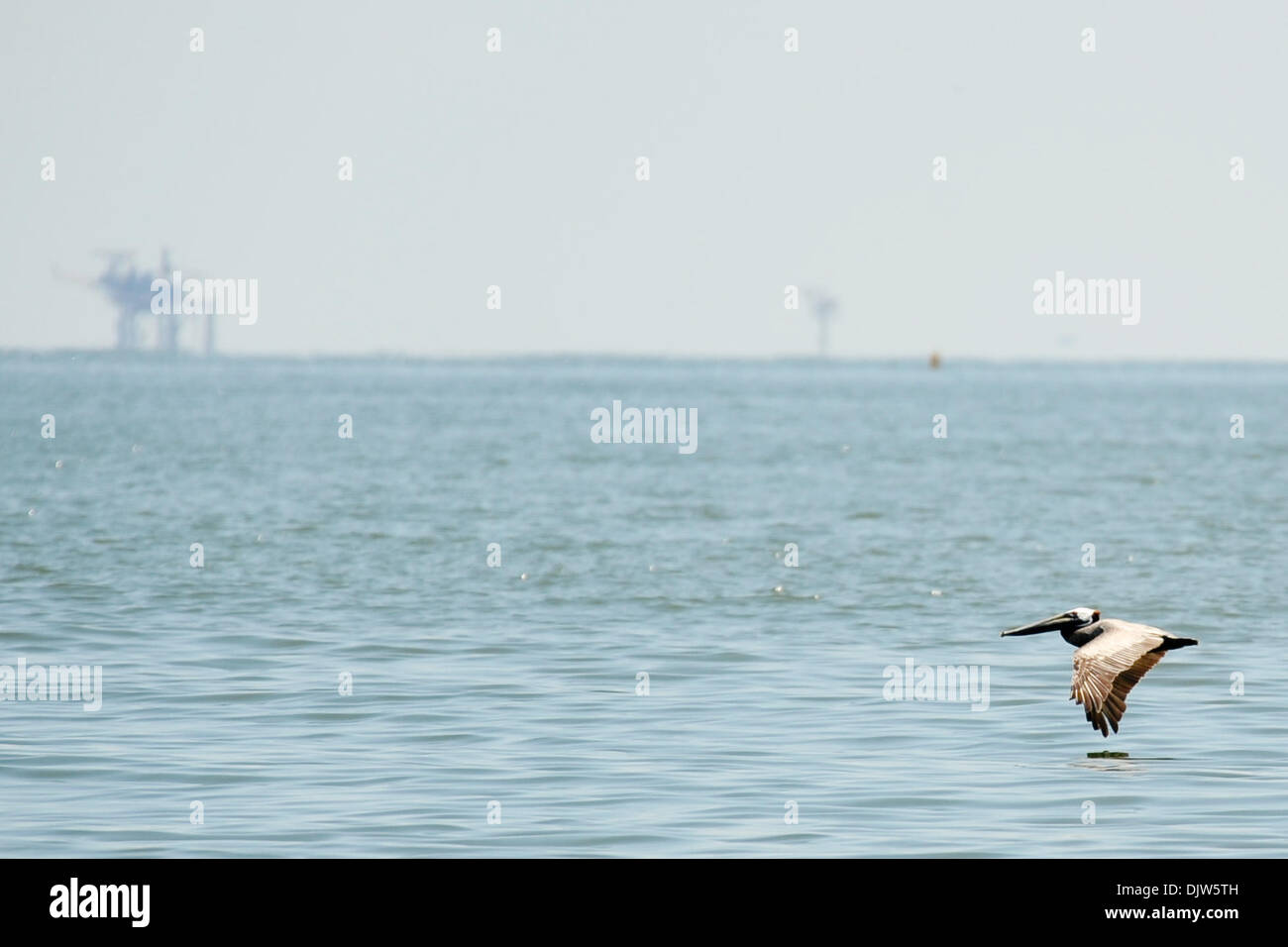 A brown pelican hovers above the waters of the Gulf of Mexico, with working oil rigs in the background.  Estimates to date make the BP oil spill the largest  ecological disaster in US history. (Credit Image: © Stacy Revere/Southcreek Global/ZUMApress.com) - Stock Image