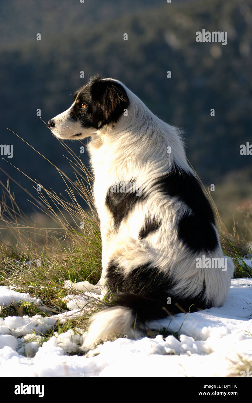 Border Collie sitting in snowy field - Stock Image
