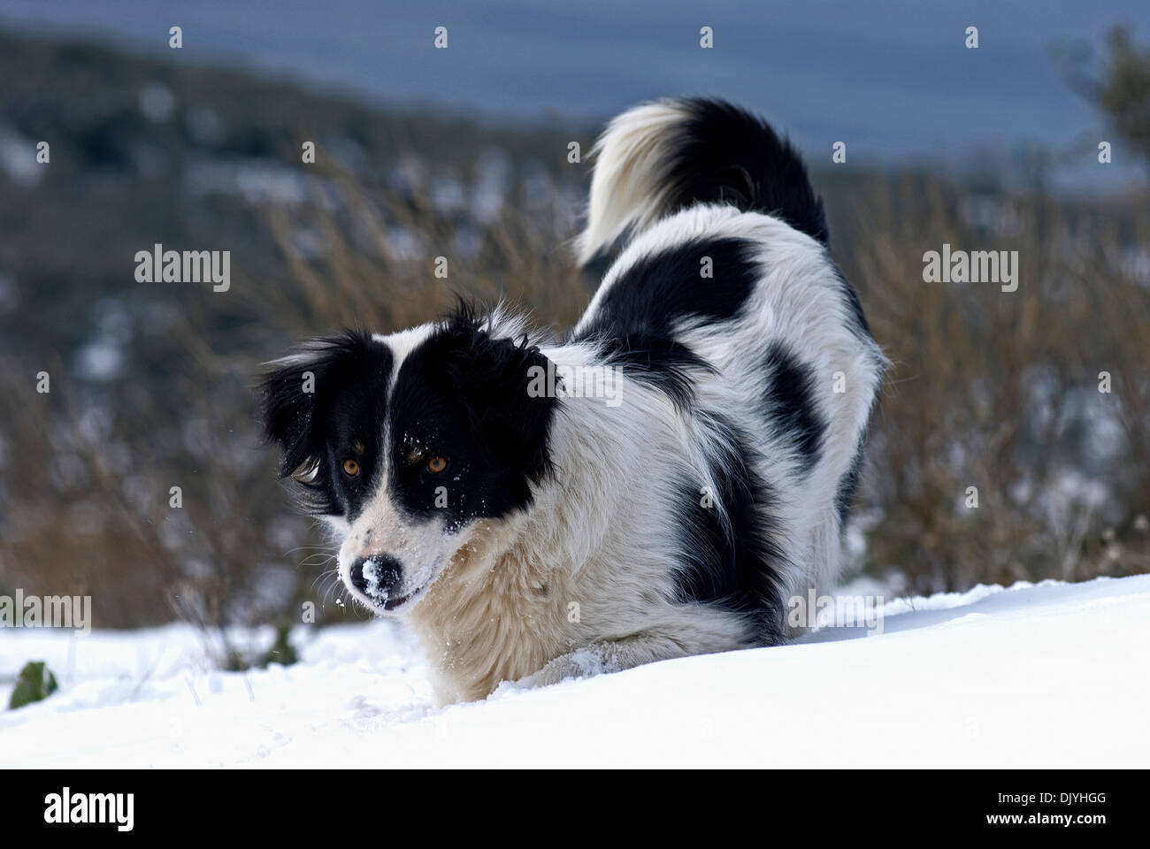 Young Border Collie playing and digging in snow - Stock Image