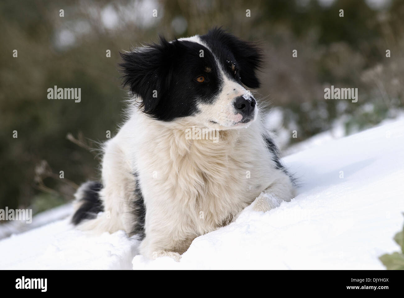 Young Border Collie lying in snow - Stock Image