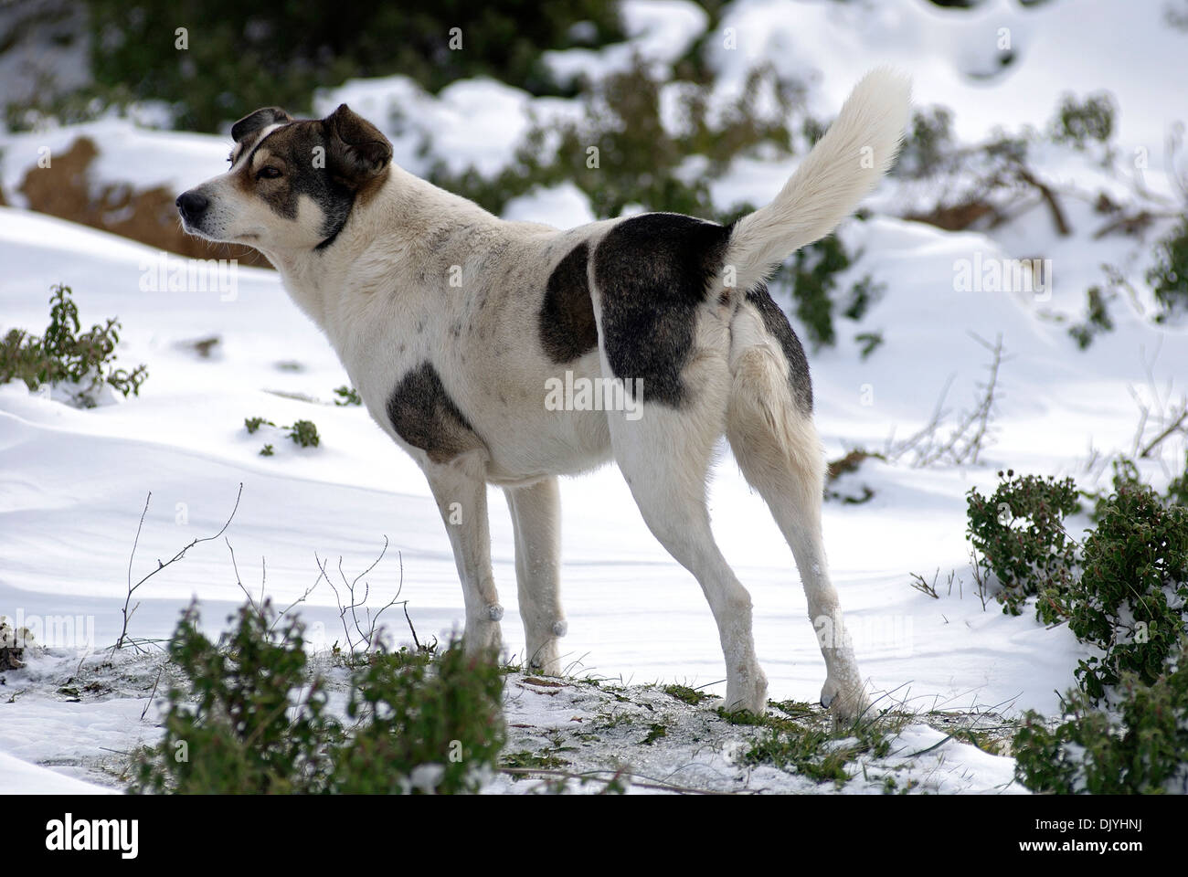 Mongrel dog standing in snow - Stock Image