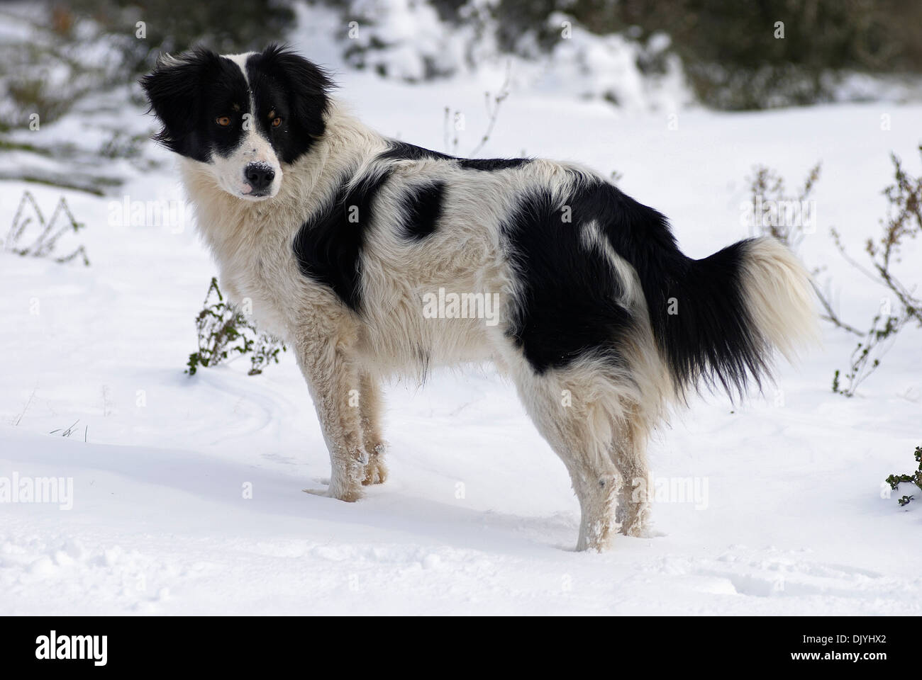 Border Collie standing in snow - Stock Image