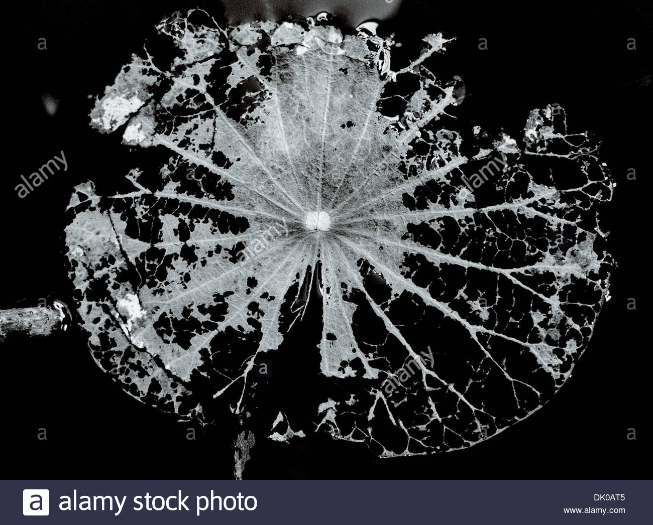 The fragmented spidery remains of a Lotus leaf submerged in a slowly freezing pond in Chungju, South Korea. - Stock Image