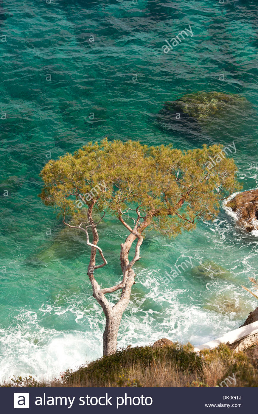 PINE TREE LEANING OVER THE AZURE MEDITERRANEAN SEA. Èze-sur-mer, Alpes-Maritimes, French Riviera, France. - Stock Image