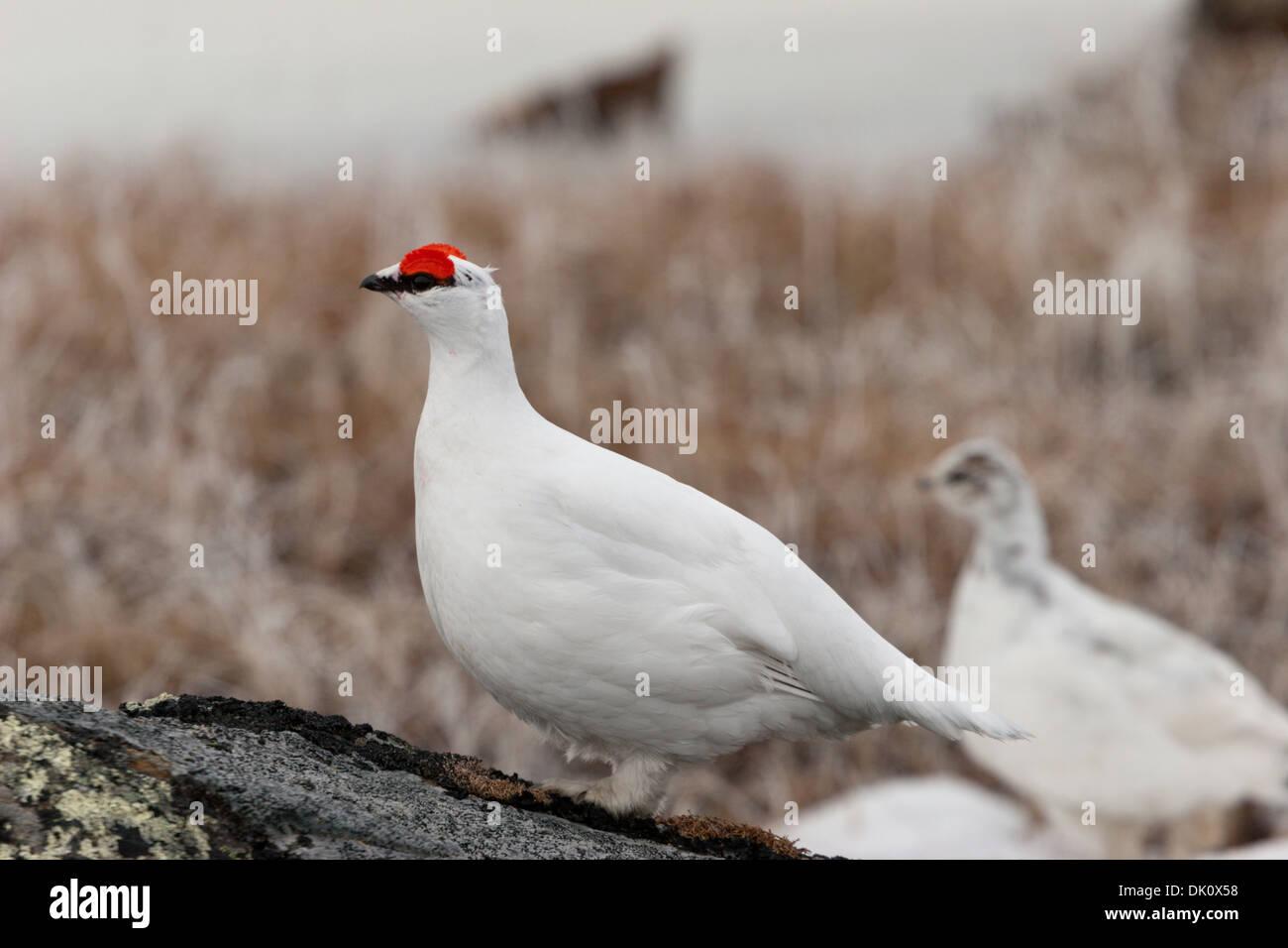 Canadian arctic birds ptarmigan pair feathers - Stock Image