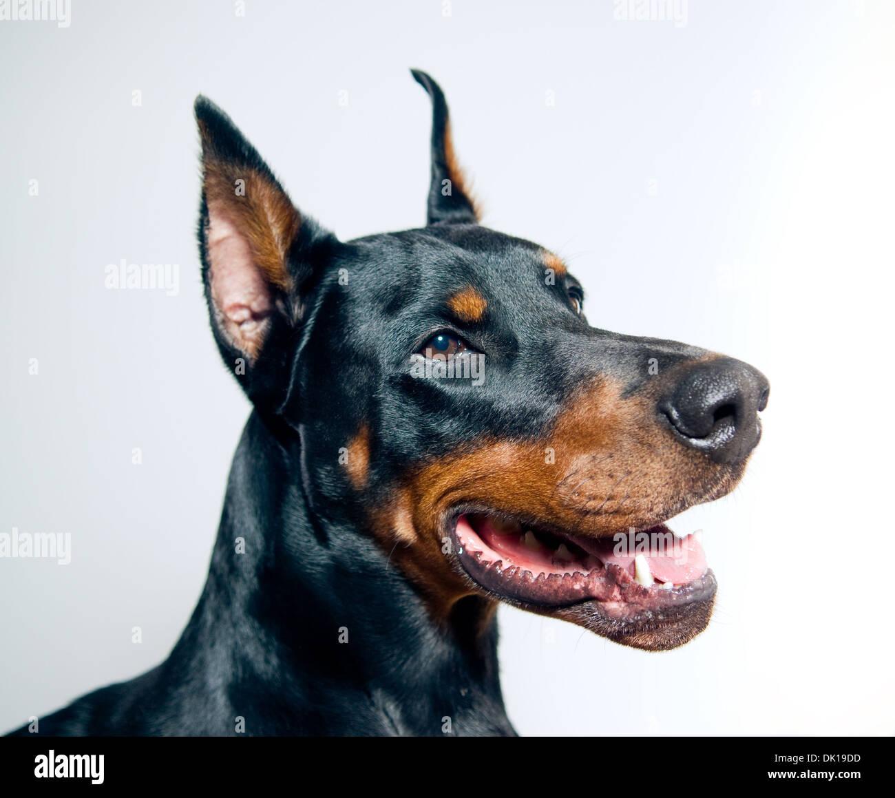 Doberman Pinscher portrait on simple background - Stock Image