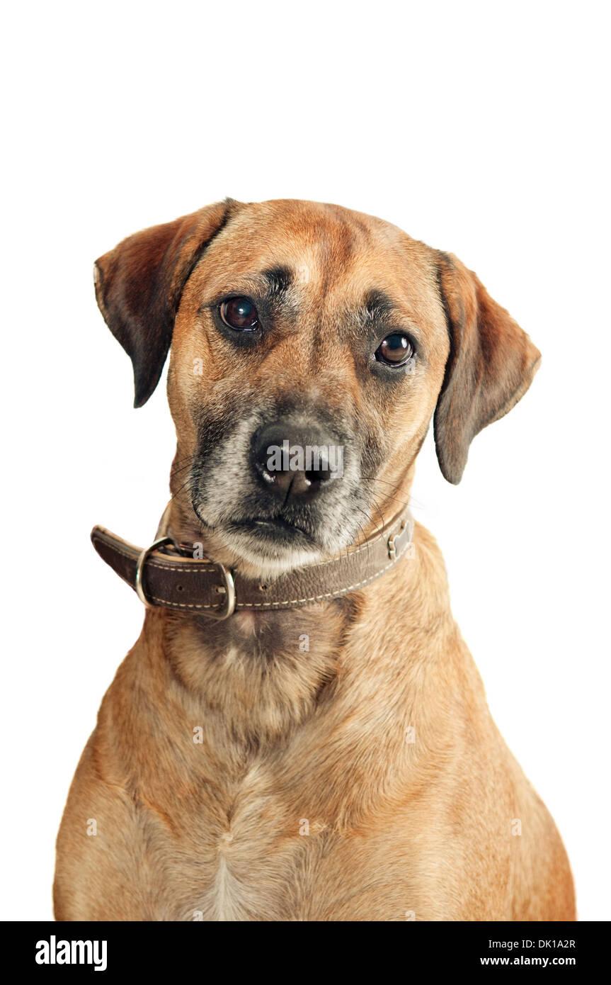 Mixed-breed dog on white background - Stock Image