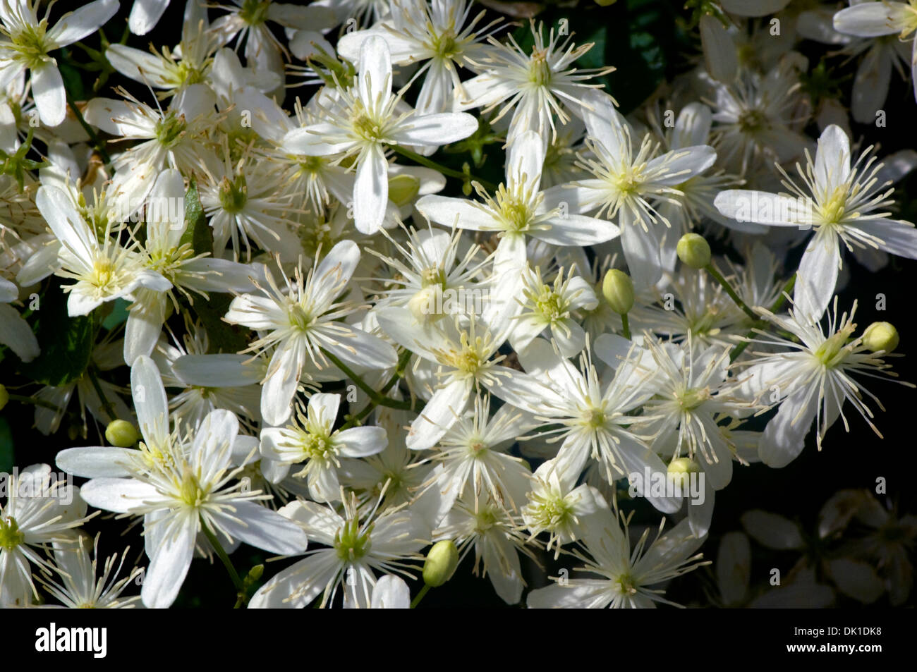 Many Small White Clematis Flowers On The Vine Wrapped Around A Fence