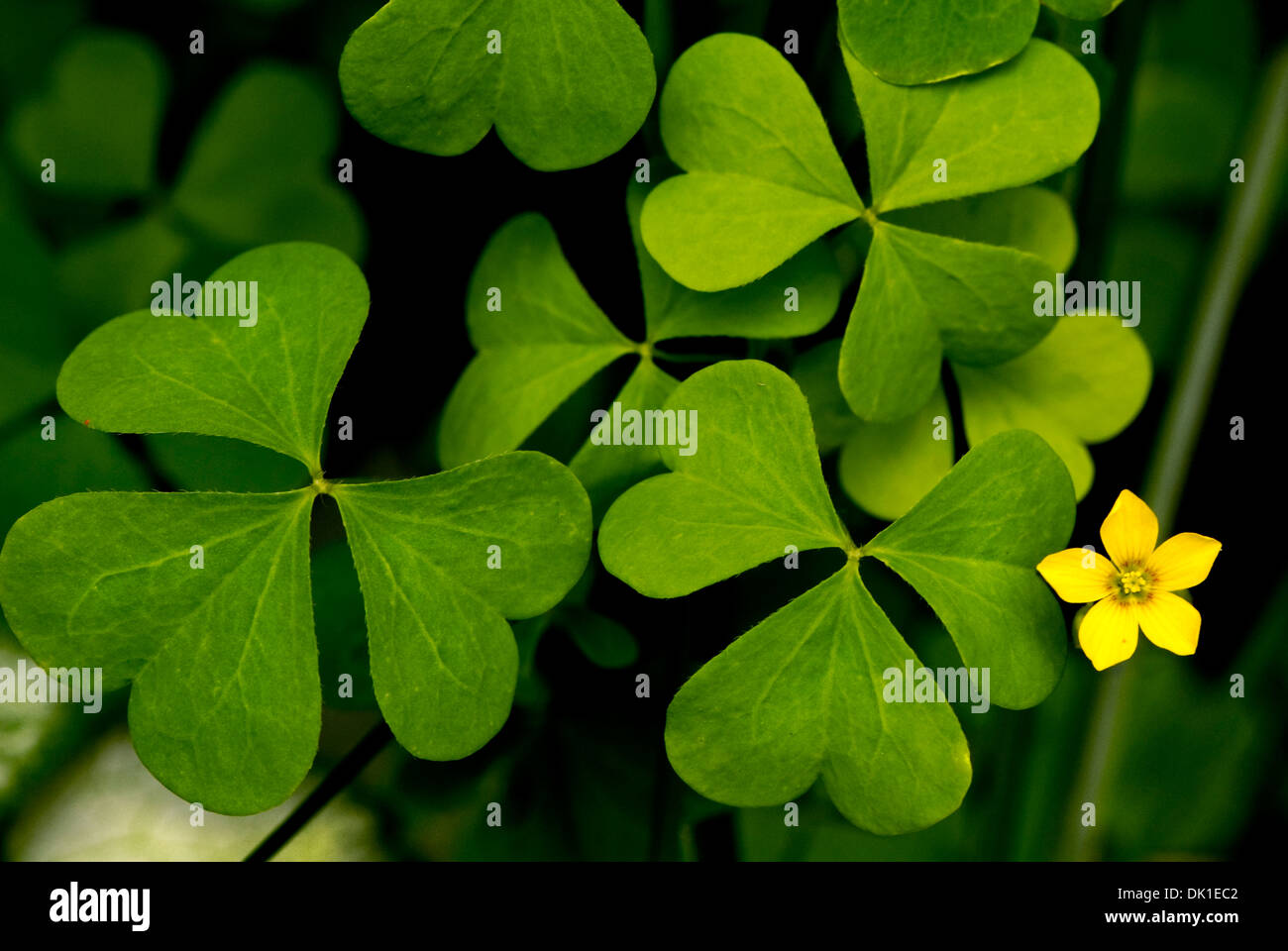 Yellow clover flower stock photos yellow clover flower stock very large green clover with a small five sided star shaped yellow flower stock mightylinksfo
