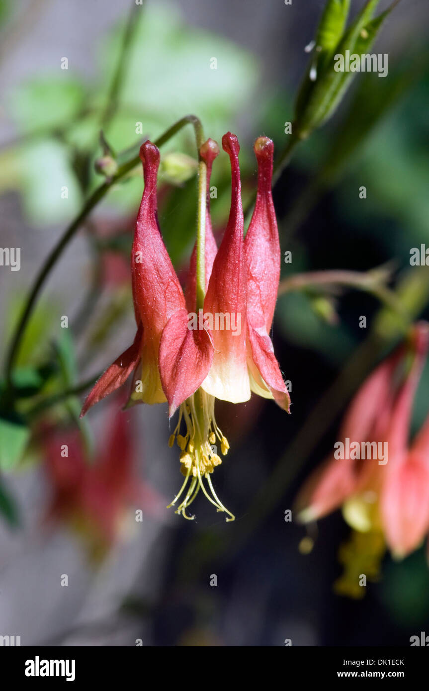 Red And Yellow Columbine Flower Stock Photos Red And Yellow