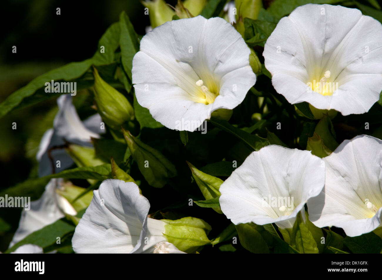 White morning glories open in the morning sunshine. - Stock Image