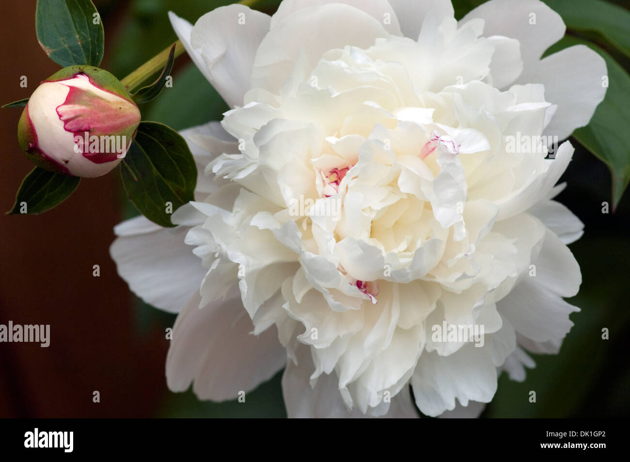 White Peony Flower Stock Photos White Peony Flower Stock Images