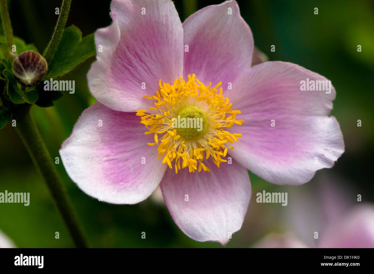 Macro Image Of A Japanese Anemone Flower Close Up With Its Pink