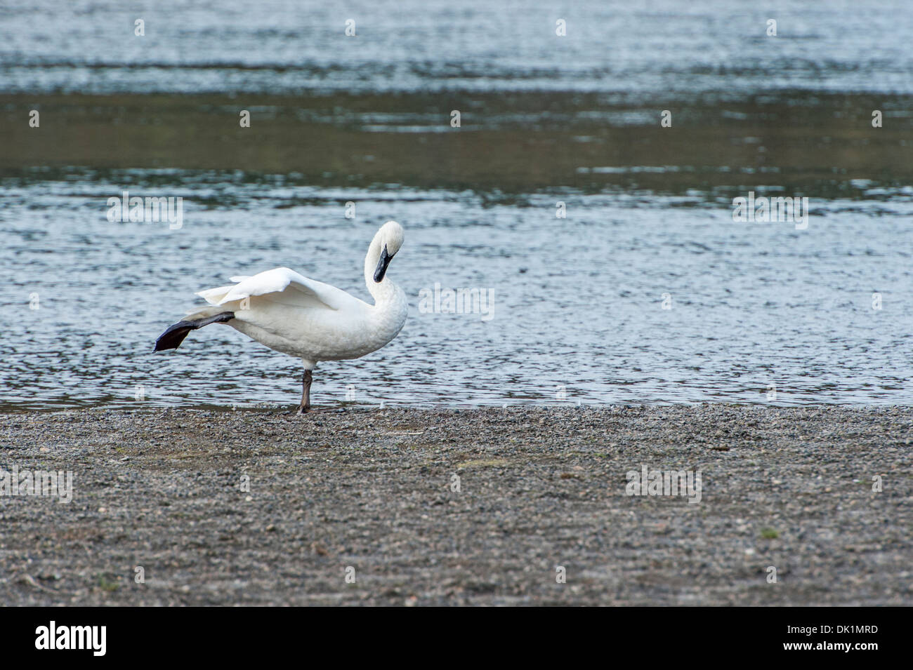 A swan gracefully posing in a way reminiscing of a ballet dancer. - Stock Image