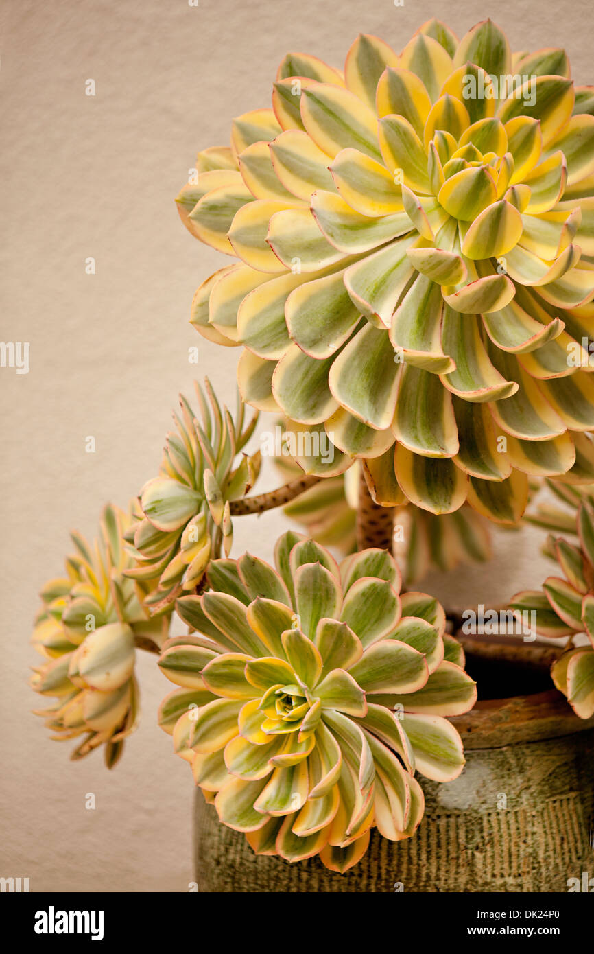 Close up high angle view of yellow and green succulents plants in flowerpot - Stock Image