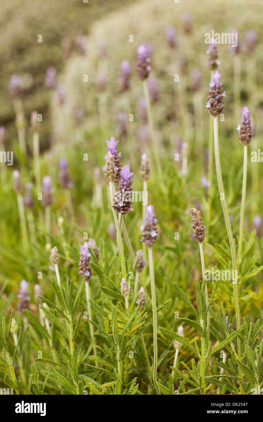 Close up of lavender growing in garden - Stock Image
