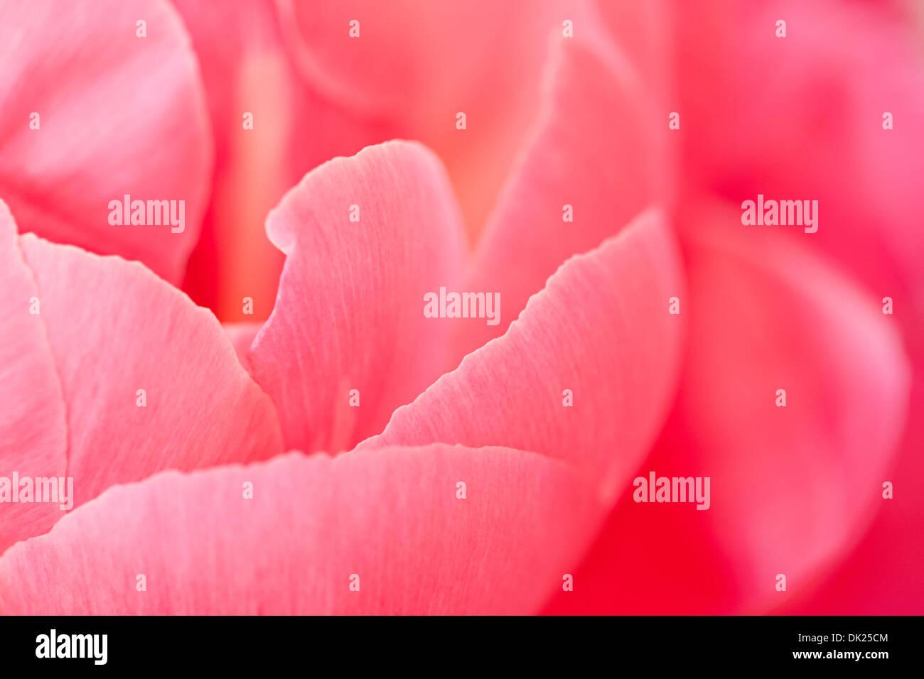 Full frame close up detail of pink peony petals - Stock Image