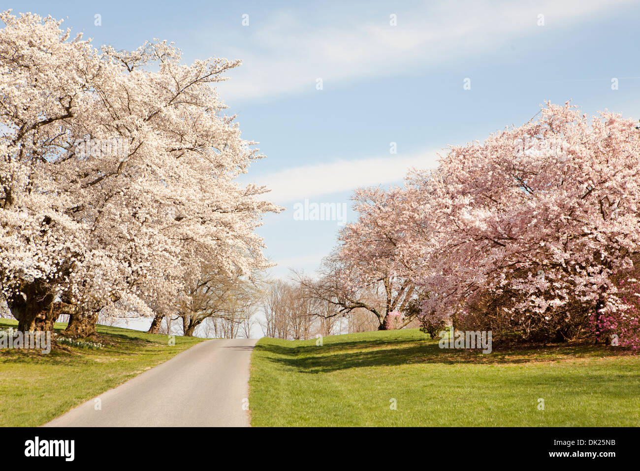 Pink and white blossoms on spring trees along path - Stock Image