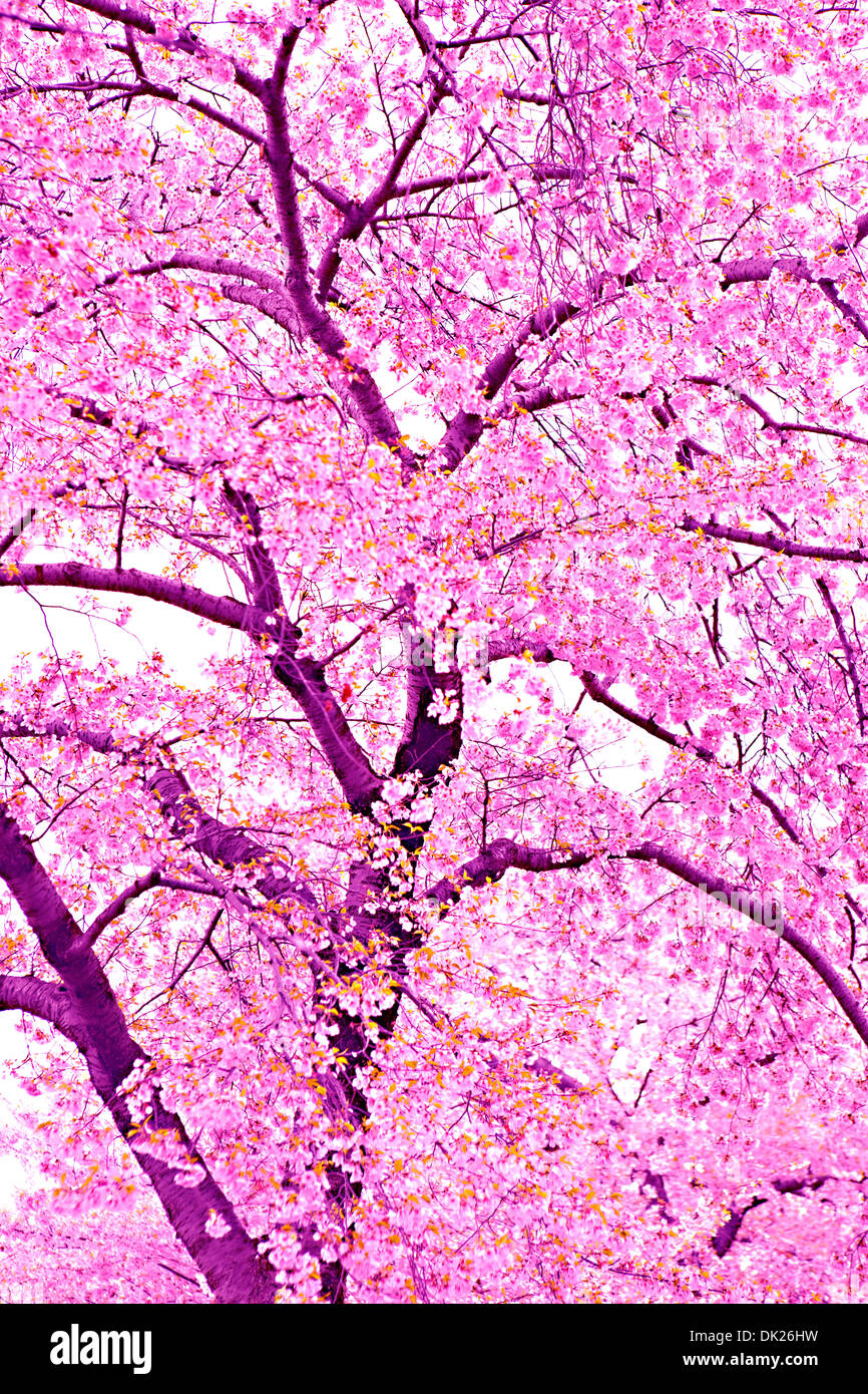 Low angle view of pink cherry blossoms on spring tree - Stock Image