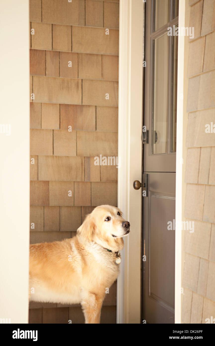 Golden retriever waiting at door of house - Stock Image