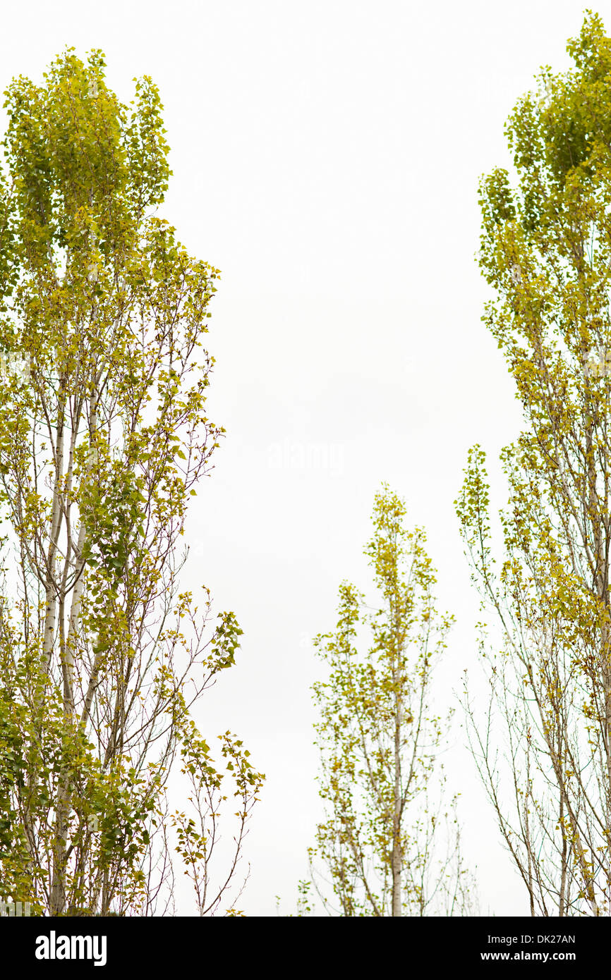 Low angle view of tall green trees - Stock Image