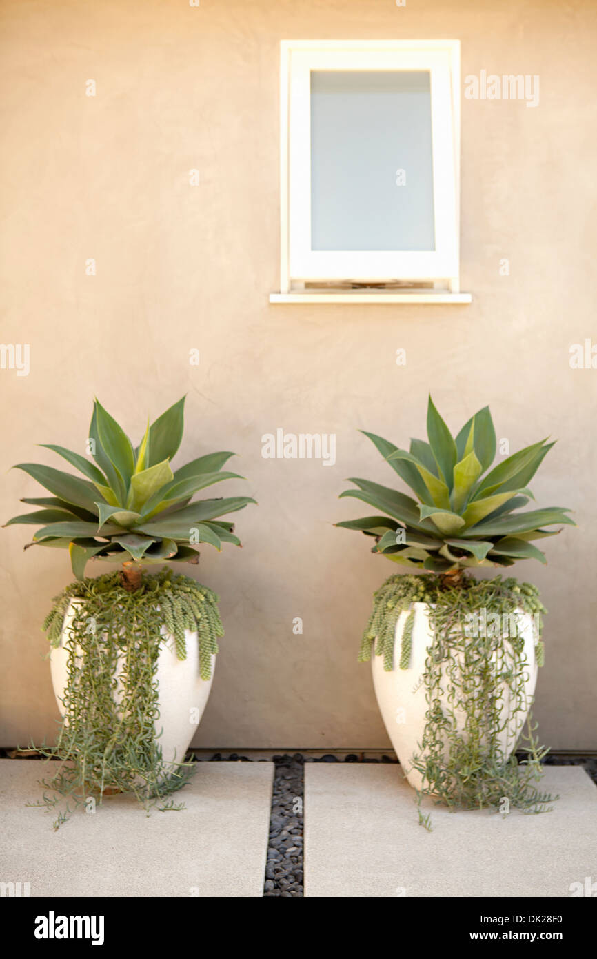 Symmetrical succulent plants and ivy growing in flowerpots on patio - Stock Image