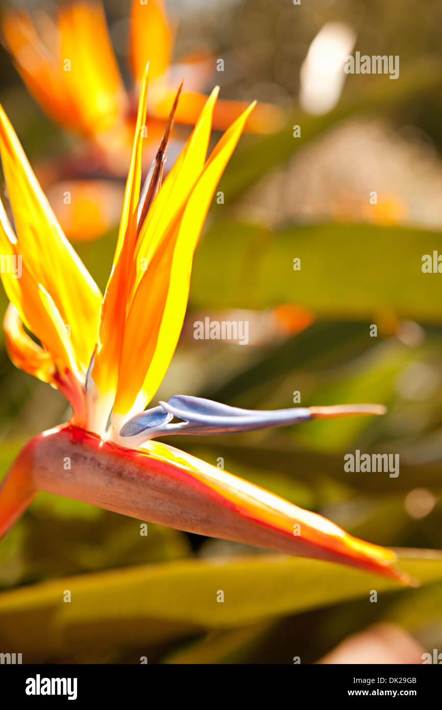 Close up of bird of paradise flower in sunny garden - Stock Image